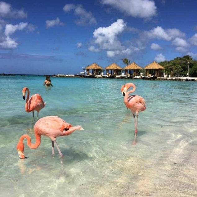 aruba_flamingos__renaissance_island